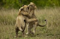 ケニア 遊んでいるライオン