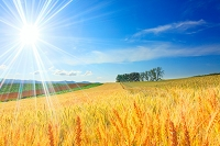 北海道 小麦畑