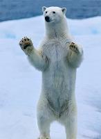 立ち上がるホッキョクグマ