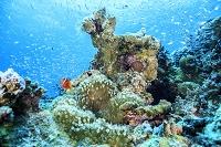 石垣島 海中のイメージ ハマクマノミ