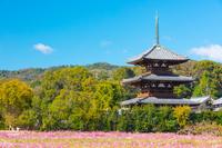 奈良県 法起寺 コスモス畑と三重塔