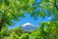 山梨県 河口湖の新緑と富士山