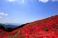 奈良県 ツツジ咲く葛城山
