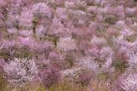 福島県 桜峠の大山桜