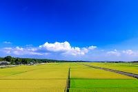 栃木県 田園 黄金色に輝く水田