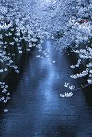 東京都 目黒川の桜
