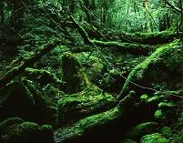 屋久島 杉 苔むした地表