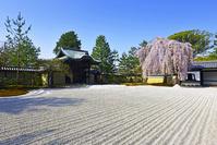 京都府 京都市 高台寺庭園 桜