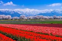 富山県 舟川桜並木とチューリップ畑と立山連峰