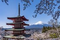 山梨県 桜咲く新倉山浅間公園から富士山と忠霊塔