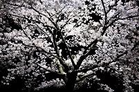 兵庫県 桜