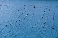 愛媛県 津島の真珠筏