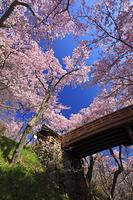 長野県 高遠城址公園 桜雲橋と高遠コヒガンザクラ