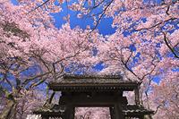 長野県 高遠城址公園 高遠コヒガンザクラと問屋門