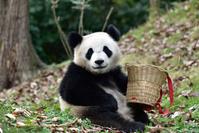 遊ぶパンダ