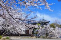 和歌山県 桜咲く道成寺 本堂と三重塔