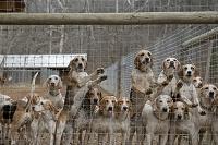フェンス越しの猟犬の群れ