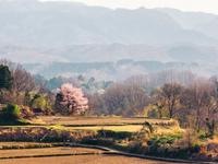 石川県 里山の一本桜