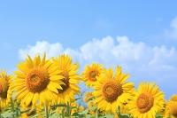 山梨県 花の都公園 ヒマワリの花畑と入道雲