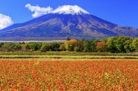 日本 山梨県 富士山とキバナコスモス 花の都公園