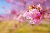 静岡県 伊豆の国市 河津桜の花