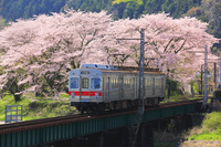 静岡県 大井川鉄道の電車と桜