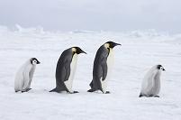 コウテイペンギンの行列