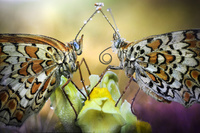 花に止まる蝶