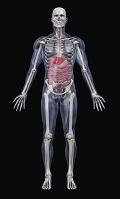 CG ヒトの内臓と骨格