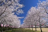 鹿児島県 忠元公園の桜並木