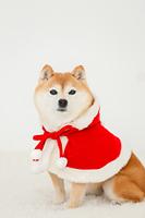 クリスマスの格好をした豆柴