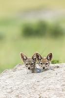 ケニア マサイマラ保護区