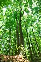 新潟県 ブナ林