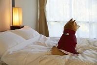 旅館のベッドの上に座る豆柴犬