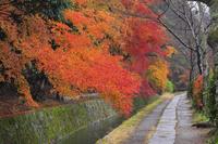 京都府 哲学の道の紅葉