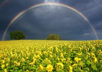 北海道 美瑛町 ヒマワリ畑と木立と夕方の虹