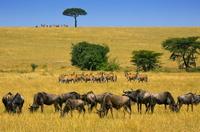 タンザニア セレンゲティ国立公園 ゲムズボックとヌーの群れ