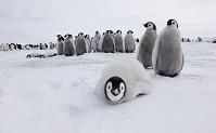南極 赤ちゃんコウテイペンギンの群れ