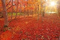 北海道 屈斜路湖砂湯の紅葉落ち葉