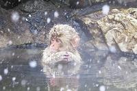 温泉に入るサル 山ノ内町 長野県