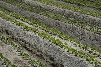 野菜 枝豆の露地栽培