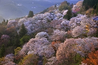 奈良県 ヤマザクラ咲く朝の七曲り坂
