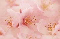 桜の花 春