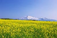秋田県 鳥海山と菜の花