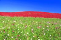 茨城県 コキアの紅葉