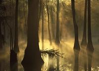 アメリカ合衆国 霧深いラクウショウの林