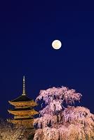 京都府 東寺 ライトアップされた不二桜と五重塔