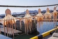 岡山県 下津井港の干蛸