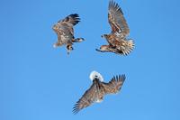 北海道 オジロワシ幼鳥の乱舞