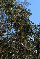 モロッコ オリーブの木